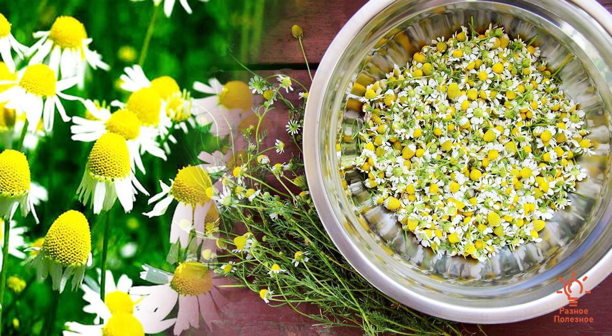 Ромашка аптечная: лечебные свойства и противопоказания. Рецепты приготовления лечебного чая.
