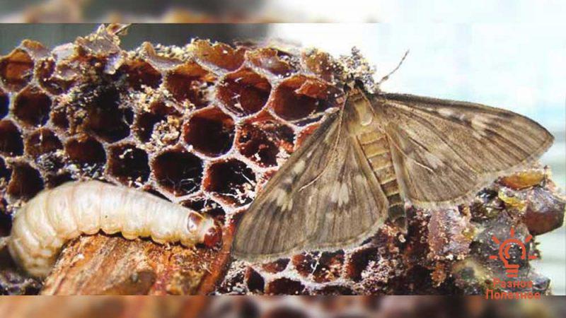 Огнёвка пчелиная. Полезные свойства и применение